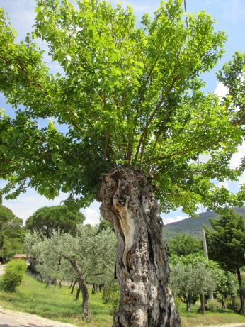 """old olive tree in Assisi"" by Julia Walsh FSPA"