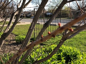 trees-flower-buds