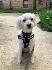white-dog-harness