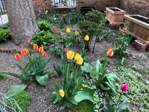 tulips-in-courtyard